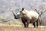while rhino