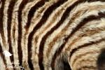 Baby zebra fluff